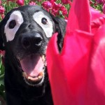 二度の死線を乗り越えたあと、皮膚疾患で目の周りが真っ白になってしまったラブラドール犬