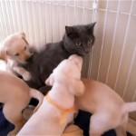 子犬たちが居るサークルに潜入したところ、一斉に絡まれておどおどするネコ