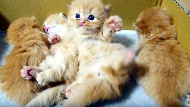 目が覚めたマンチカンの子猫。起き上がれずに悪戦苦闘!