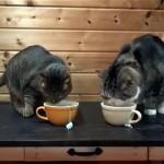 ティータイムに「またたび茶」を味わう猫のマルちゃんとハナちゃん