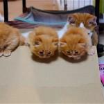 ダンボールをよじ登り脱走をはじめたマンチカンの子猫たち♡