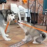 母犬と綱引き対決をする4匹のアラスカン・マラミュートの子犬たち
