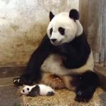 赤ちゃんパンダのくしゃみに驚くお母さんパンダ(笑)
