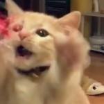 短い前脚を高速でバタバタ!猫じゃらしを追いかけるマンチカンの子猫。