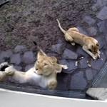 ライオンの戯れる姿を見て、これは間違いなくネコ科だと確信した瞬間!
