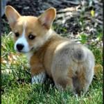 ハッピーな気分にさせてくれる愛らしいコーギー犬の写真集 23選