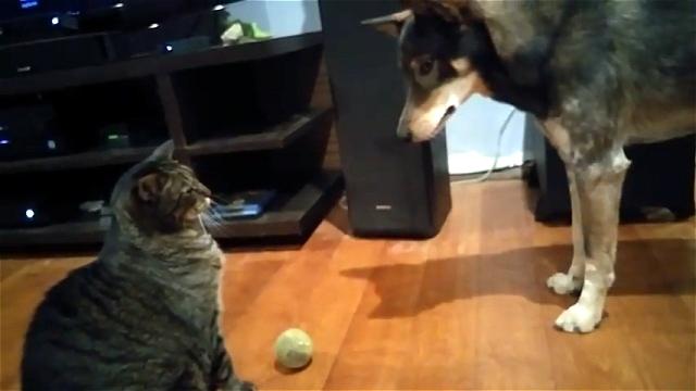 ネコが怖くてボールを取ることができない小心なワンちゃん。
