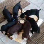 回転しながらご飯を食べる7匹のドーベルマンの子犬