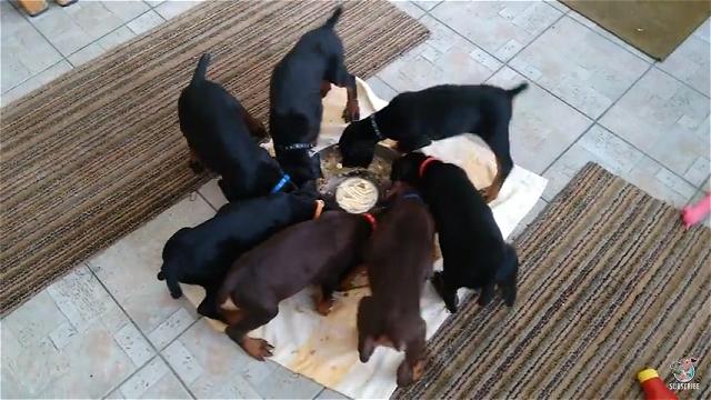 回転しながら食べるド―ベルマンの子犬たち
