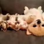 お昼寝中の3匹の子猫と縫いぐるみのような子犬