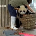 遊びたいパンダ vs 掃除したい飼育員。相容れない両者のバスケット(かご)攻防戦