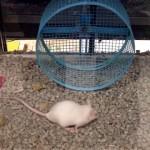 回し車の間違った使い方をするネズミ。これはこれでありかも…(笑)