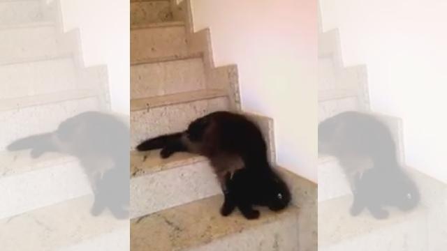 なんだその動きは!?|クニャクニャと階段を降りる猫さん