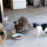 食事中の猫たちの間に割り込んで、堂々とご飯を盗み食いするアライグマ