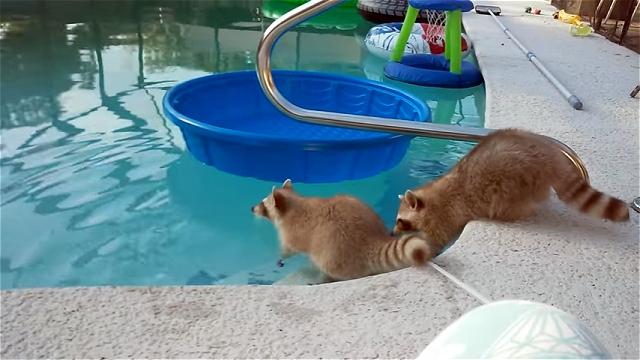 プールで遊ぶアライグマ兄弟。弟を思いやるお兄ちゃんの優しさにほっこり♡