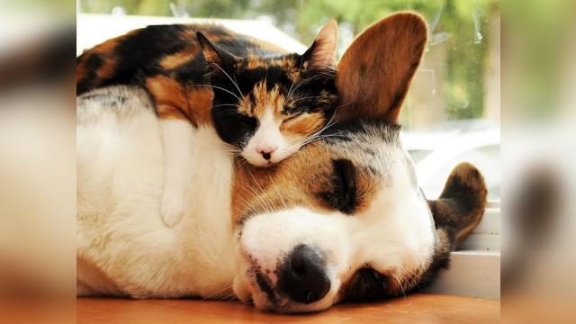 仲良しのワンちゃんを枕に気持ち良さそうに居眠りをするネコ 24枚