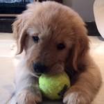 テニスボールで遊んでいたワンちゃんに訪れた予想外のハプニング(笑)