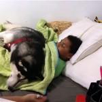 「起こしちゃダメ!」仲良しな男の子を起こそうとする母親の邪魔をするハスキー犬