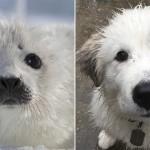 並べて見るとアザラシと犬は結構似ているところがあると思う写真集 32枚