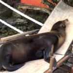 ビーチチェアの上でくつろぐアシカ。姿はまるで人間そっくり