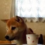 テーブルの上のパイが欲しくて必死にアピールする柴犬(笑)