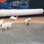 初めてのプールに尻ごみをする9匹のゴールデンレトリバーの子犬