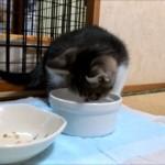 生まれて初めて容器からの水のみに挑戦する子猫