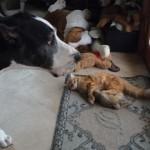 ネコにオモチャを取られたワンちゃんのネコに対する大人気ない対応(笑)