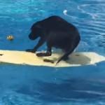 ボディーボードに乗ってプールに落ちたボールを必死に取ろうとするラブラドール犬