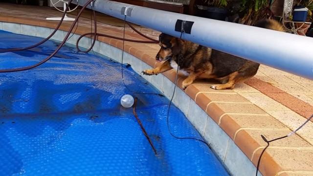 プールに落ちたボールを取ろうとして一生懸命がんばるワンちゃん
