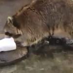 綿飴(菓子)を洗ってしまったアライグマの悲劇(笑)