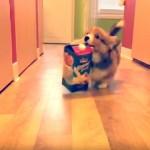 大きな牛乳パックを咥え、カメラを気にしながら通り過ぎるコーギーの子犬が可愛すぎ