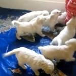 なんと羨ましい!|7匹のゴールデンレトリバーの子犬に追い回される飼い主