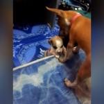 ベッドに上がれない子犬を手助けする優しい先輩犬
