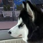 ハスキー犬のモフモフ綿毛を短くサマーカットした結果、シュールな姿に(笑)