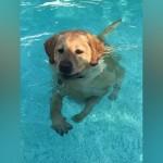 プールを得意気に泳ぐワンちゃん。足がつくことがわかって微妙な表情(笑)
