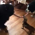 大きなワンコの綱の奪い合いに参戦した小さいワンコ。果たしてその結果は…