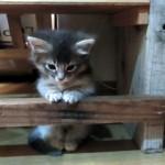 机の貫(ぬき)を越えられない子猫。生後一ヶ月半の子猫に与えられた試練