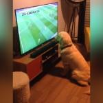 テレビでサッカーを観戦中のゴールデンレトリバー。サッカーボールに釘付け(笑)