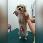 騙されて病院に連れて来られ、注射だとわかったときの犬の気持ち