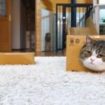 半端ない箱への思い入れ。箱をこよなく愛する猫のまるちゃん