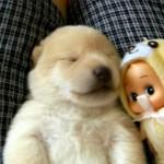 寝言がかわい過ぎ!|夢を見ながらお昼寝中の子犬♡
