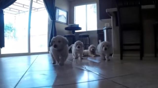カメラを付けたモップを追いかけてくる子犬たちの可愛い映像♡