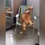 やっと椅子に乗れたけど、降りるのに不安そうな太り過ぎのブルドッグ(笑)