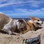 真夏の砂浜で暑さも忘れて穴掘りに一生懸命な2匹のワンコ。