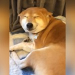 ご主人様の帰宅を満面の微笑みでお出迎えする柴犬にホッコリ♡