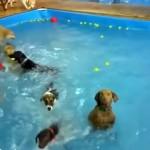 プールで楽しそうに泳ぐ犬たちをよそに、1匹だけカメラ目線で微動だにしない奇妙な犬