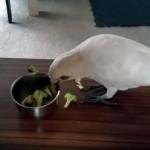 何か恨みでもあるのか、飼い主が与えるブロッコリーをことごとく投げ捨てるオウム