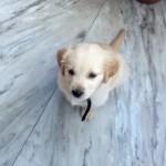 「待て」を教わる生後2ヶ月のかわいい子犬。従順でけなげな姿に胸キュン♡