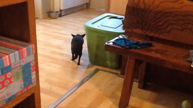 スローモーション映像のような超スローな歩き方をする不思議なチワワ犬